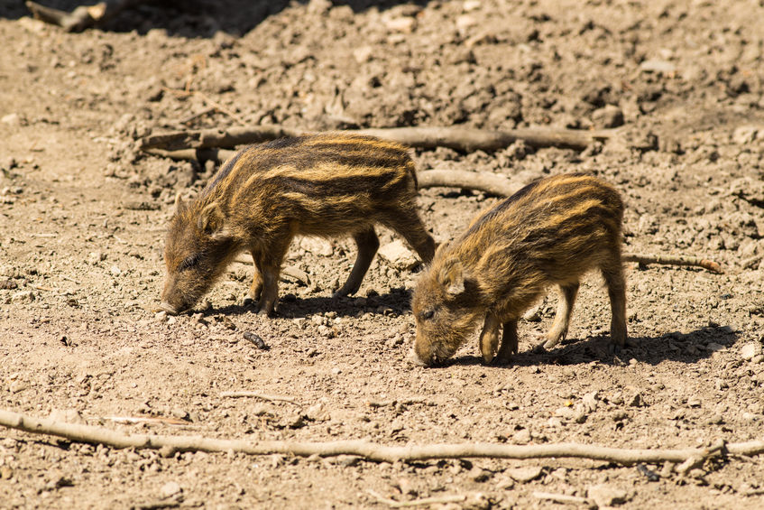 Feral Hogs Behavior On Military Base Being Studied Through
